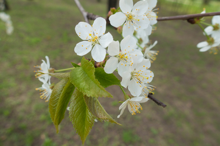 Five petaled white flowers of cherry tree in spring Imagens - 117601485