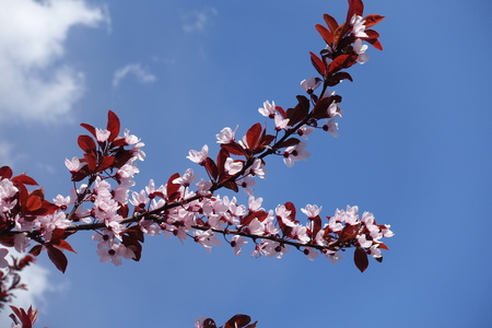 Branches of Prunus pissardii with pink flowers and red leaves against blue sky