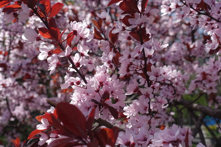 Ruby red leaves and pink flowers of Prunus pissardii in spring Stok Fotoğraf