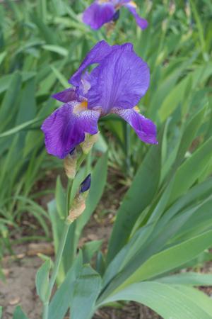 Erect stem of bearded iris with single violet flower