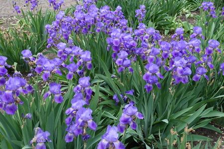 Lots of violet flowers of Iris germanica in spring