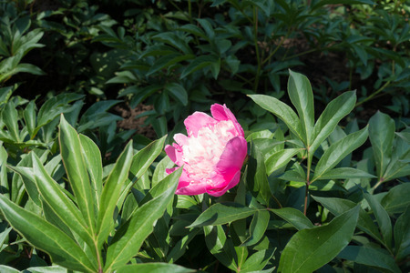 Paeonia officinalis with one pink flower in spring