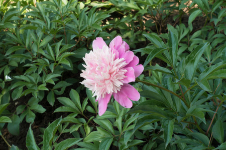 Peony with one pink flower in spring