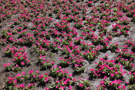 Flower bed with magenta colored petunias in July