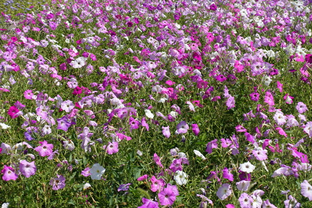 Many colorful flowers of petunias in shades of pink
