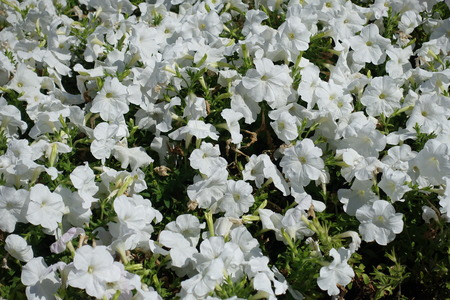 Pure white flowers of petunias in August