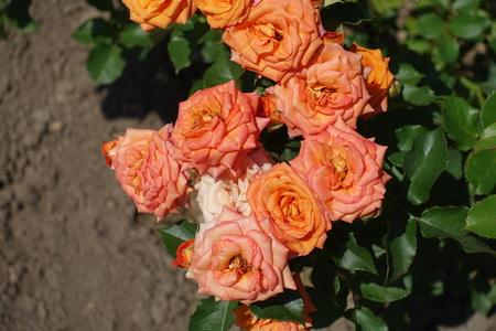 Flowers of garden rose in shades of orange