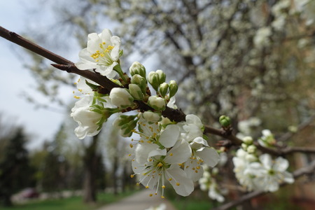 Buds and flowers of cherry in spring Imagens - 117600474