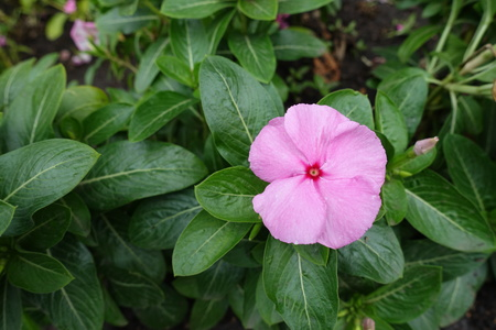 Single pink flower of Catharanthus roseus in September