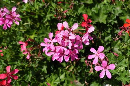 Tender pink flowers of ivy leaved geranium 版權商用圖片