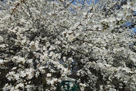 Lots of white flowers of Prunus cerasifera tree in spring