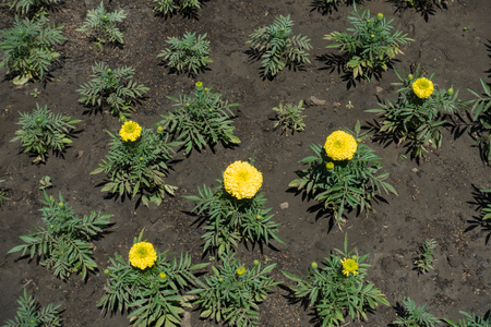Five yellow flowers of Tagetes erecta in May Foto de archivo