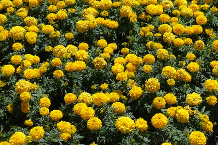 Lots of yellow flower heads of Tagetes erecta Foto de archivo