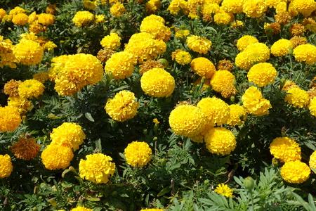 Plenty of yellow flower heads of Tagetes erecta
