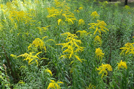 Branching yellow inflorescences of Solidago canadensis in summer