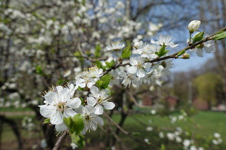 Fresh green leaves and white flowers on branches of Prunus cerasifera