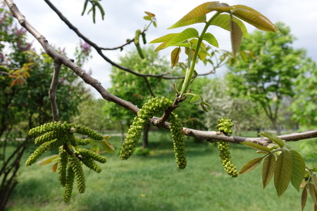 Branch of common walnut tree with fresh leaves and catkins in spring