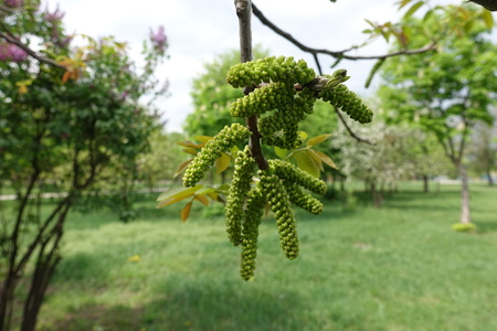 Catkins of common walnut tree in spring