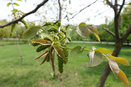 Young leaves and catkins of common walnut in spring