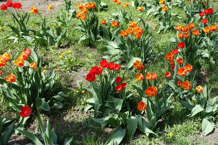 Red and reddish yellow flowers of tulips in spring