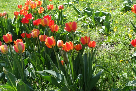 Vibrant reddish yellow and simple red flowers of tulips