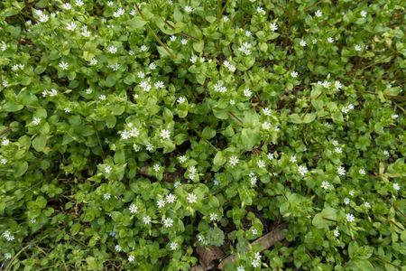 Foliage and white flowers of Stellaria media in spring 免版税图像