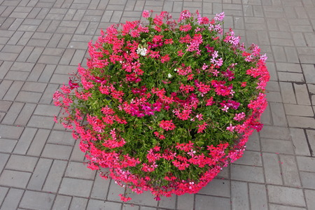 Container with flowering pink ivy leaved geranium