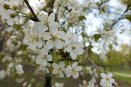 Simple pure white flowers of cherry tree in spring Imagens