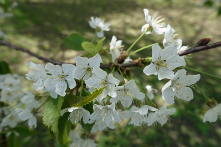 Small pure white flowers of cherry tree in spring