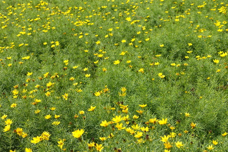 Many small yellow flowers of Coreopsis verticillata in mid July 写真素材
