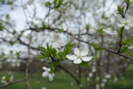 Blossoming branches of plum tree in spring