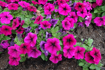 Vibrant magenta colored flowers of petunia in the garden