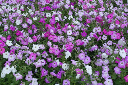 Top view of petunias in various shades of pink