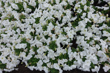 Beautiful white flowers of petunias in the garden
