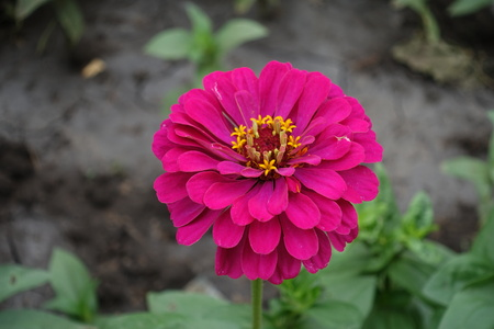 Double flowered magenta colored zinnia in June