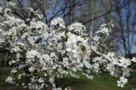 Inclined branch of blossoming Prunus cerasifera tree in spring