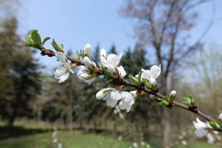 Closeup of blossoming branch of Prunus tomentosa against blue sky Imagens