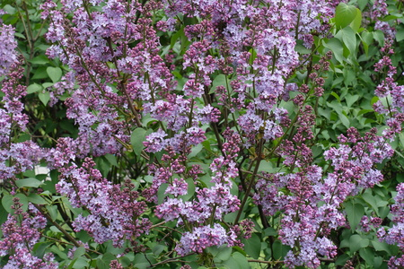 Beginning of florescence of common lilac in spring