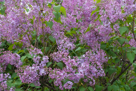 Mauve flowers of common lilac in spring