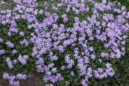 Lots of violet flowers of Phlox subulata in spring Stock fotó