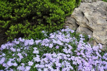 Rock garden with flowering Phlox subulata in spring