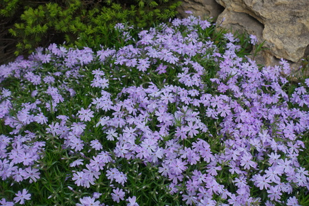 Rockery with flowering Phlox subulata in mid spring