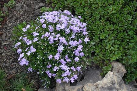 Sedum and flowering Phlox subulata in the rock garden