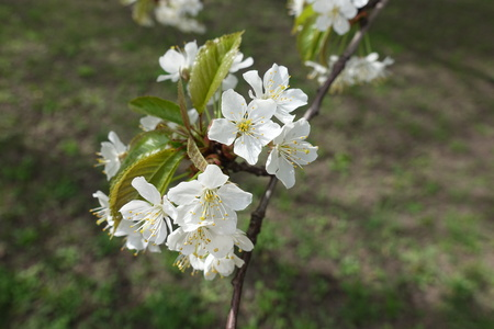 Bunch of white flowers of cherry tree in spring