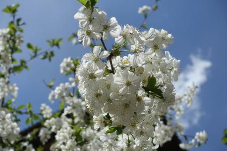 Cherry blossom against blue sky in spring Imagens
