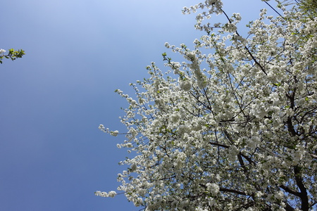 Clear blue sky and blossoming cherry branches in spring
