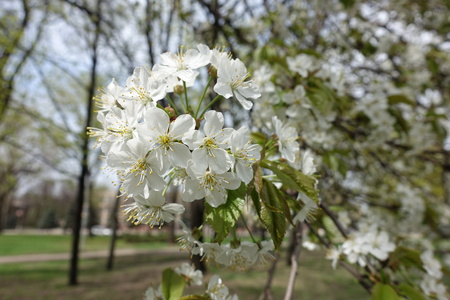 Close shot of cherry blossom in spring Imagens