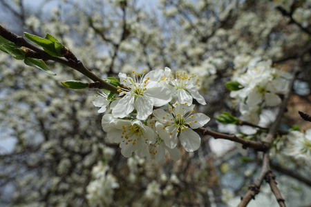Close view of white flowers of cherry in mid spring Imagens