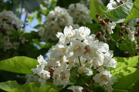 Bunch of white flowers of catalpa in June