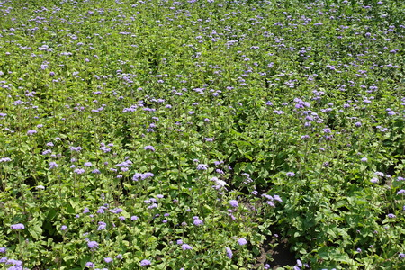Flowerbed with lots of Ageratum houstonianum in bloom
